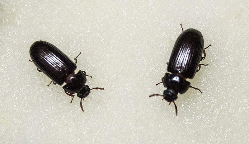 2 жука знахаря