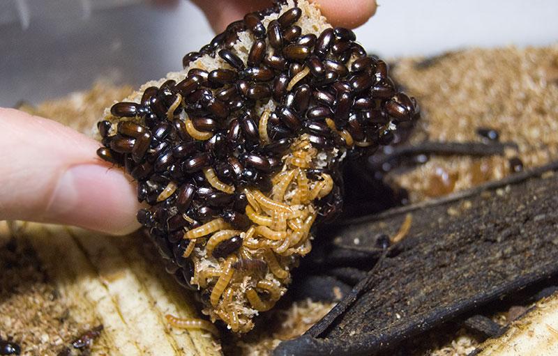 здоровые жуки знахари и их личинки