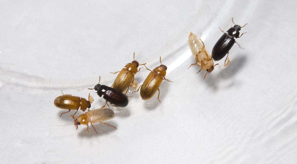 Молодые светлые и взрослые чёрные особи жука чернотелки