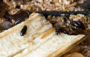 Жук-лекарь и его личинки на кусочке кожуры банана