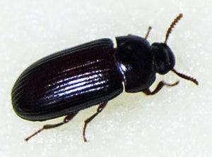 Аргентинский жук знахарь