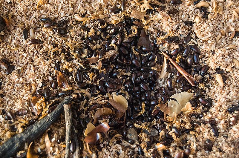 личинки и жуки чернотелки