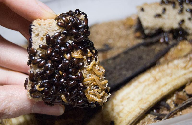 чернотелка и её личинки на хлебе