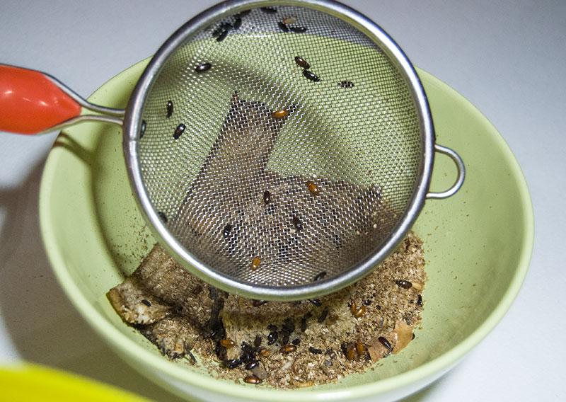 жуки знахари в процессе уборки